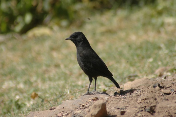 Ruppell's Black Chat