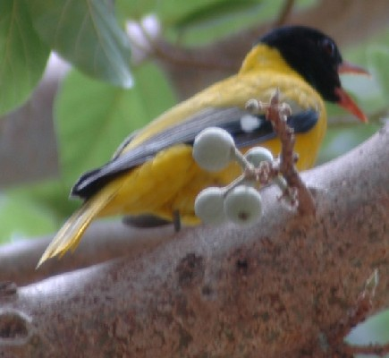 Abyssinian Black-headed Oriole