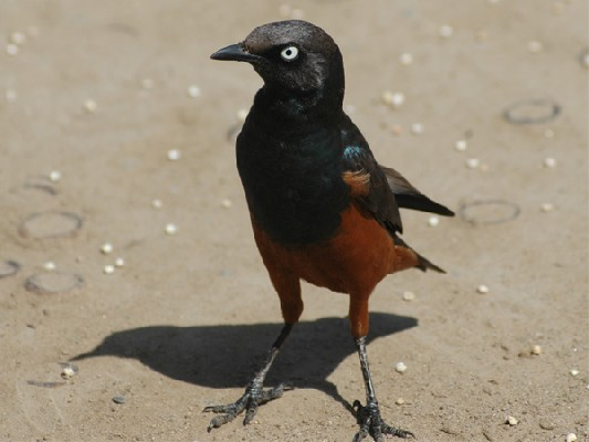 Chestnut-bellied Starling