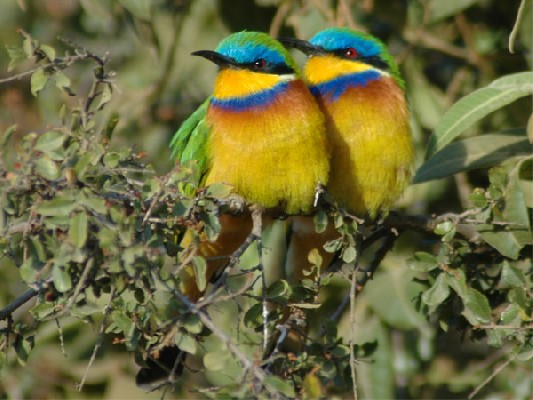Blue-breasted Bee-eaters