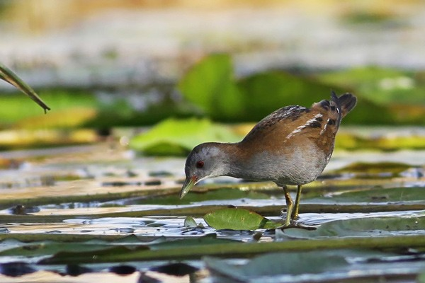 Little Crake - Adult Male