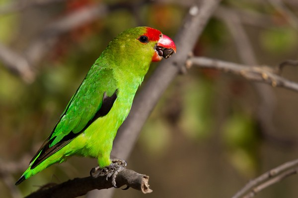 Black-winged Lovebird - adult male