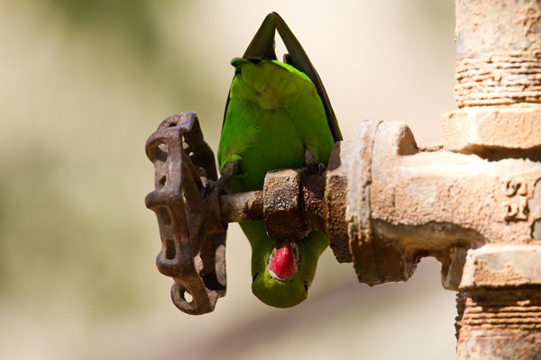 Black-winged Lovebird - adult female drinking