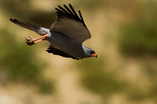Dark Chanting Goshawk in flight - ssp Metabates