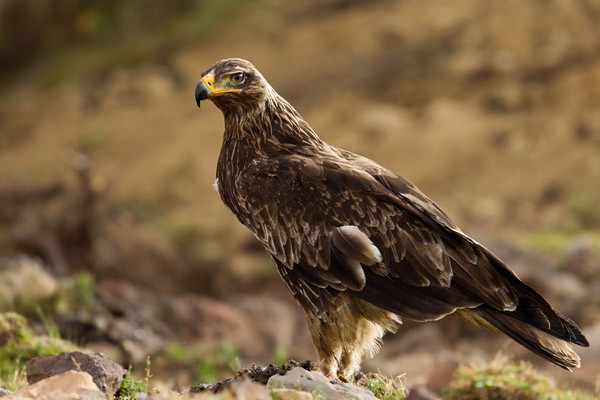 Tawny Eagle - Immature in a quite streaked plumage