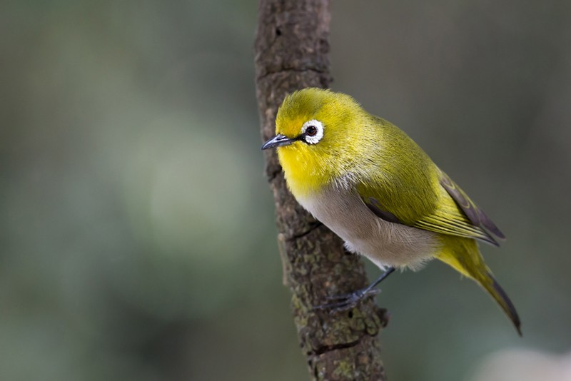 Image result for taita white-eye