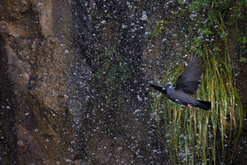White-collared Pigeon in flight (coming to drink at a waterfall)