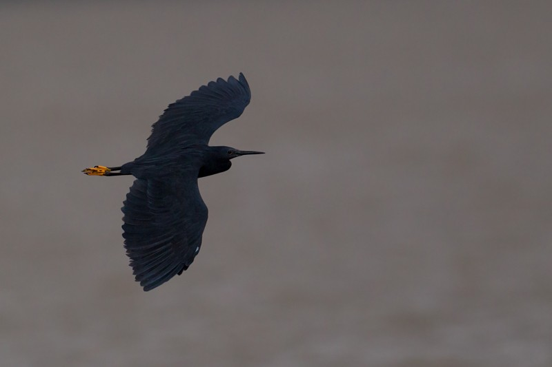 Black Heron in flight