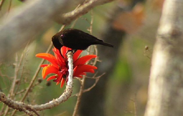 Amethyst Sunbird feeding on Coral tree flowers