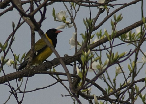 Eastern Black-headed Oriole in tree