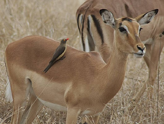 Red-billed Oxpecker feeding on Impala