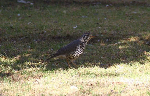 Groundscraper Thrush on lawn