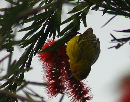 Cape Weaver in Bottlebrush tree