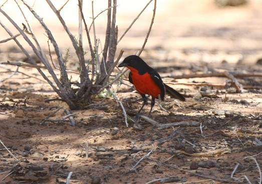 Crimson-breasted Shrike seen on the ground