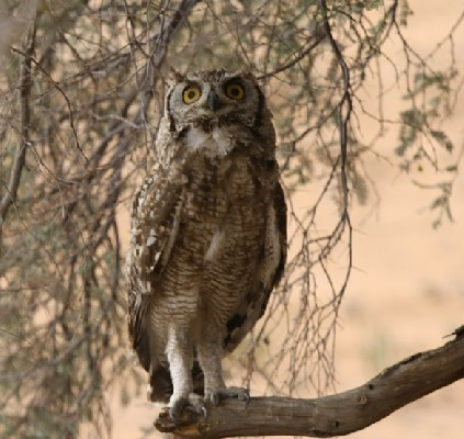 Spotted Eagle Owl in tree