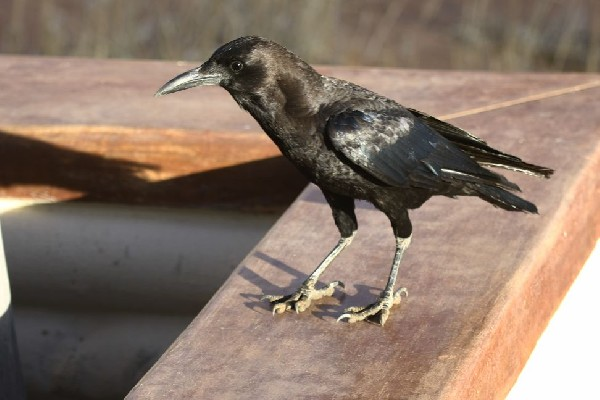 Cape Crow begging for food