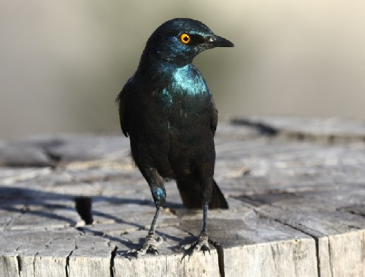 Cape Starling perched on tree stump