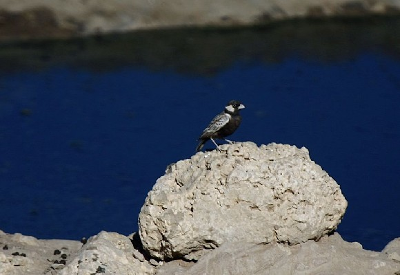 Grey-backed Sparrow Lark perched at a waterhole