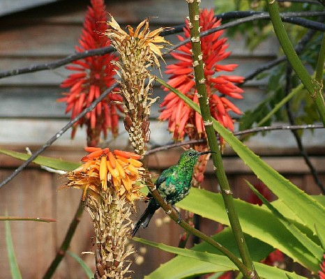 Malachite Sunbird feeding on Aloe