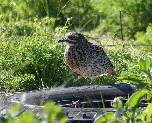 Spotted Thick-knee living in garden