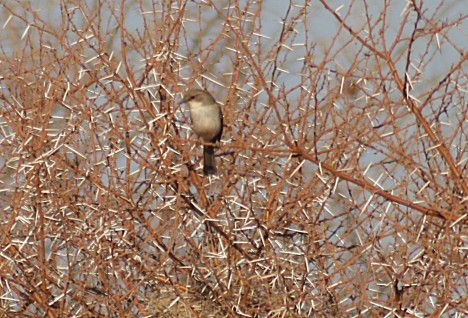 Marico Flycatcher perched in shrub