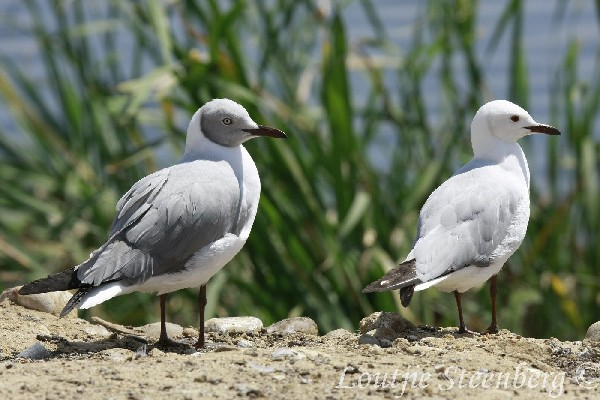 Grey-headed Gull, seen with Hartlaub's Gull