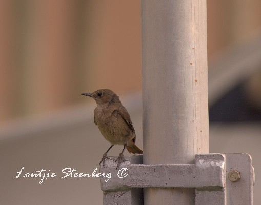 Familiar Chat perched on flagpole