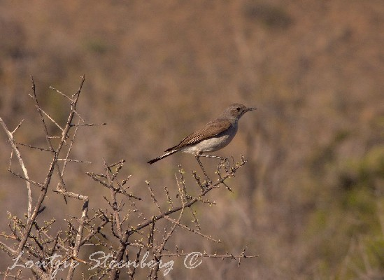 Perched Karoo Chat
