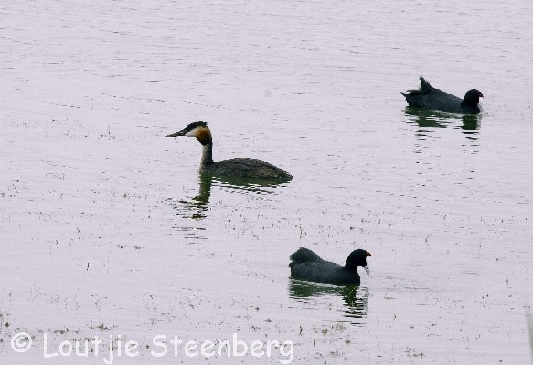 Great Crested Grebe with Red-knobbed Coot