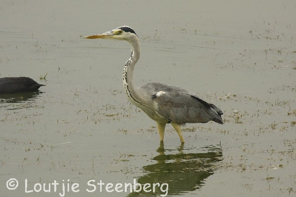 Grey Heron in shallows