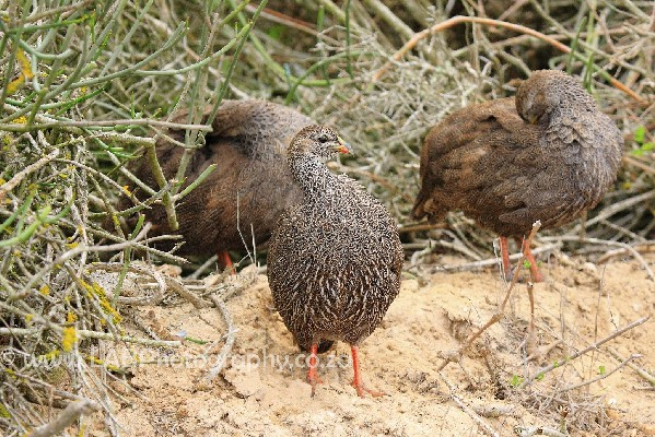 Cape Francolin family group