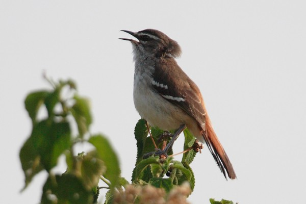 Brown Backed Scrub Robin