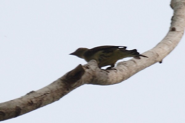 Lyre-tailed Honeyguide