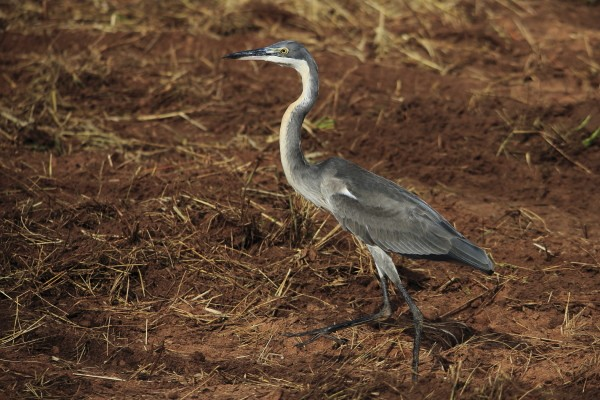 black-headed heron juvenile