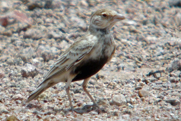 Grey-backed Sparrow Lark seen well during the 2005 Birdquest Angola tour