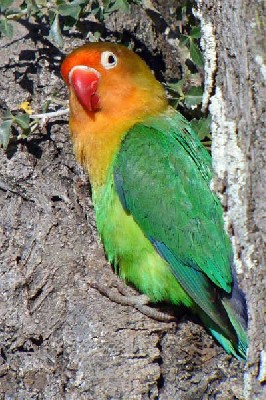 Fischer's Lovebird seen well during the 2006 Birdquest Serengeti & Ngorongoro tour