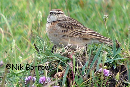 Blanford's Lark seen well during the Birdquest Ethiopia 2006 tour