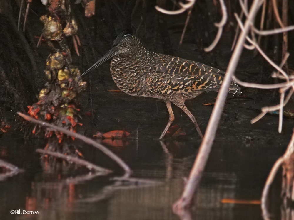 White-crested Tiger Heron
