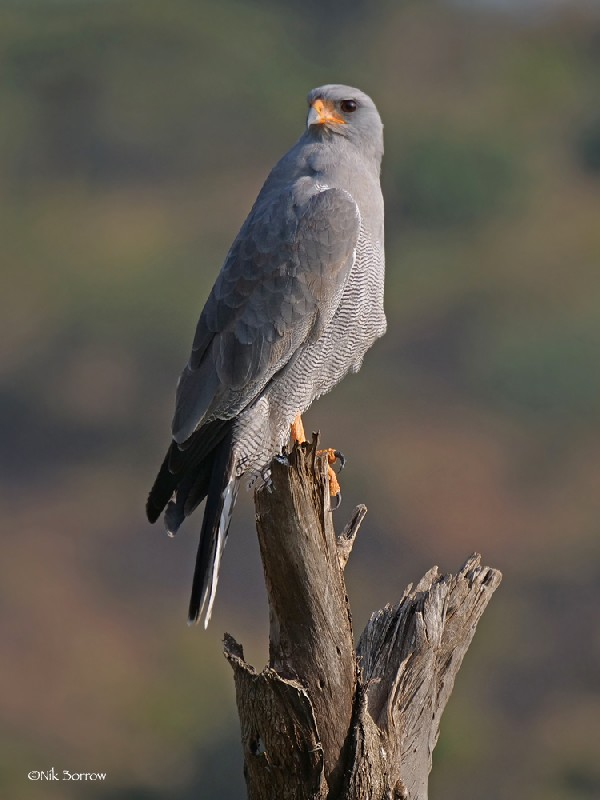 Dark Chanting Goshawk nominate race