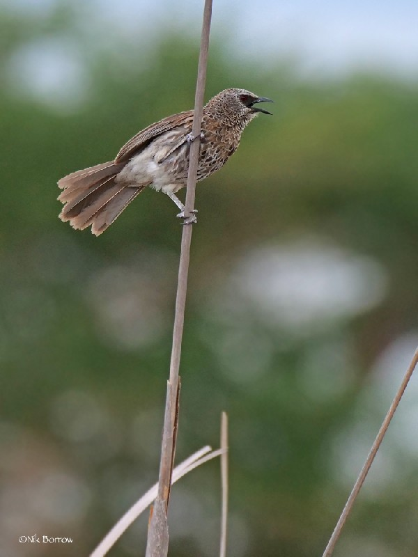 Hartlaub's Babbler nominate race