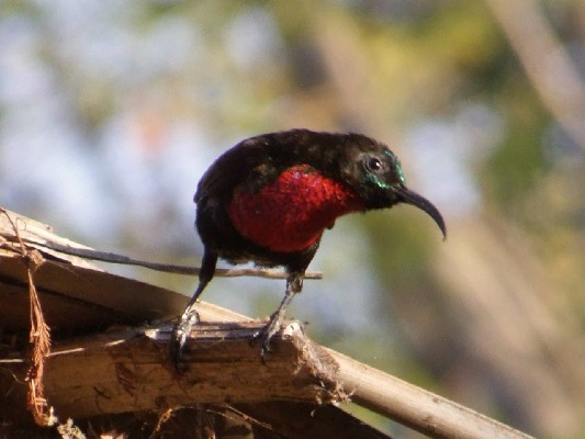 Hunter's Sunbird