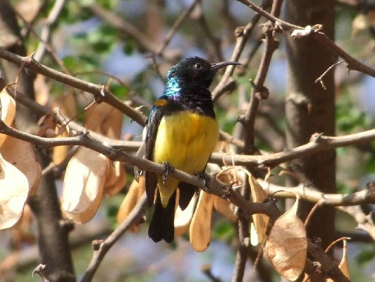 Variable Sunbird just bathed.