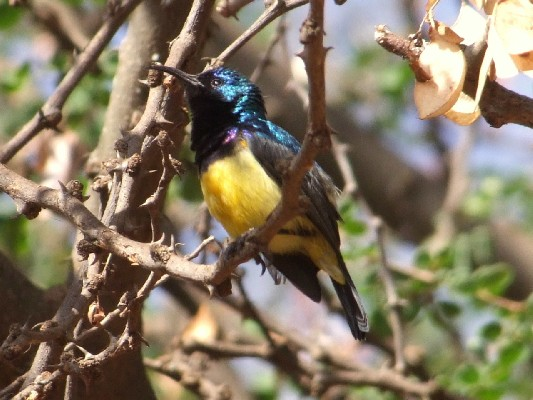 Variable Sunbird singing