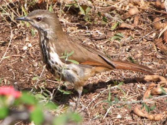 Spotted Palm-Thrush feeding