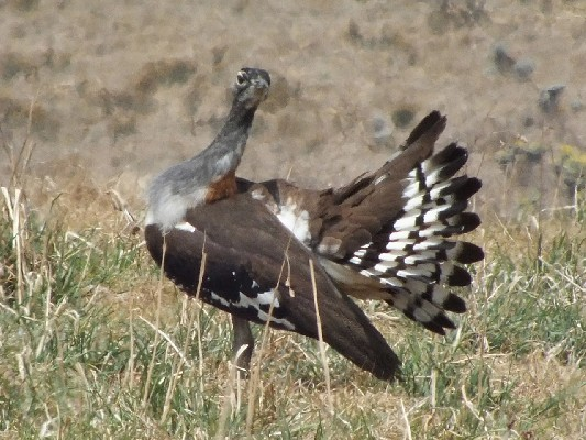 Denham's Bustard displaying to the ladies