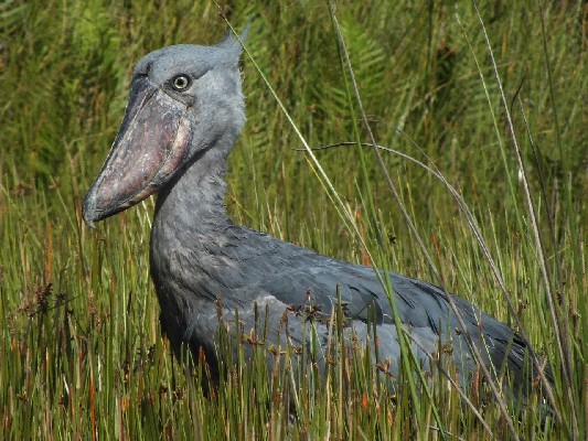 Shoebill caught fishing.