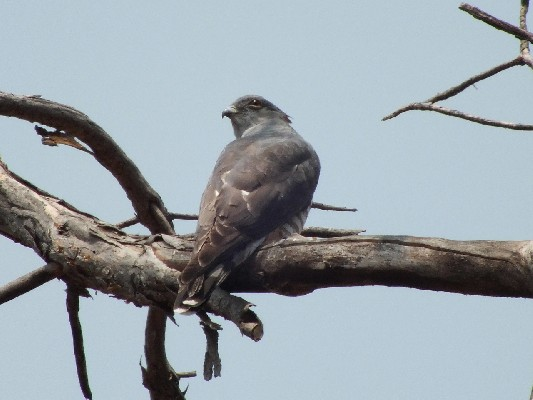 African Cuckoo Hawk sitting tight.