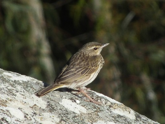 Approachable Striped Pipit