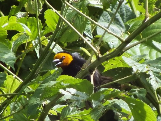 Black-billed Weaver