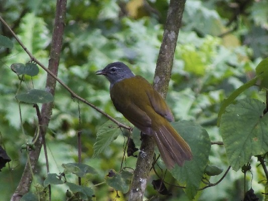 Eastern Mountain Greenbul